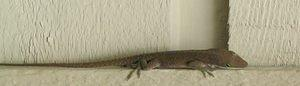 There were anoles all over the house.